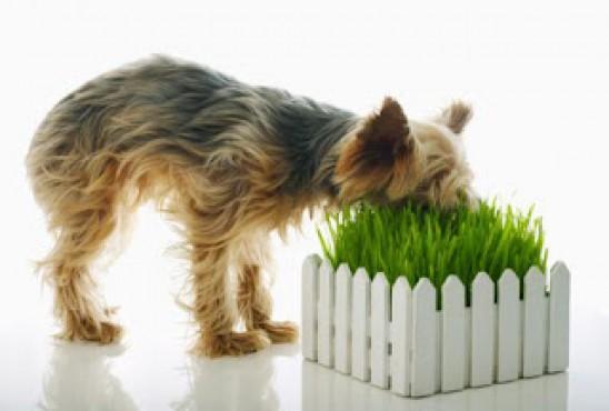 грибы шампиньоны собака ест траву и ее рвет абингдонские